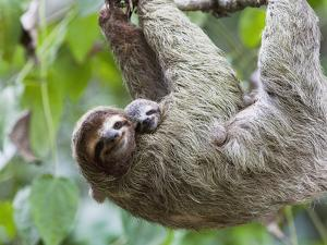 Brown-Throated Sloth and Her Baby Hanging from a Tree Branch in Corcovado National Park, Costa Rica by Jim Goldstein