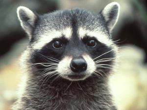 Close-up of a Raccoon by Jim Oltersdorf