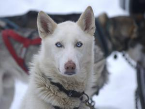 Dog at Dog Sled Race by Jim Oltersdorf