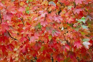 Raindrops Rest on Beautiful Sugar Maple Fall Foliage by Jim Reed
