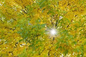 The Sun Shines Through a Tree Full of Beautiful Autumn Colors by Jim Reed