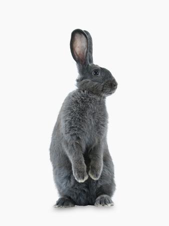 A Rare Silver Fox Heirloom Rabbit