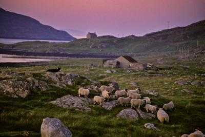 A Sheepdog Guards Its Flock Grazing on a Rock Filled Field