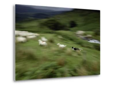 A Time Exposure of a Sheep Dog Herding Sheep