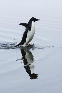 An Adelie Penguin Runs in Shallow Water on Devil's Island by Jim Richardson