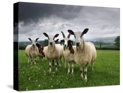 Blue Faced Leicester and Jacobs Sheep Selected and Adapted for Local Condition