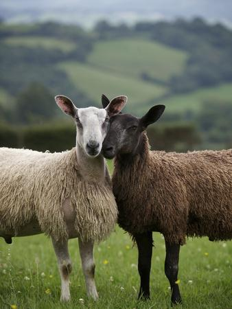 Blue Faced Leicester Sheep Selected and Adapted for Local Condition