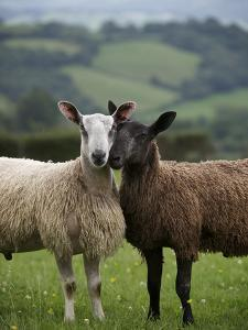 Blue Faced Leicester Sheep Selected and Adapted for Local Condition by Jim Richardson