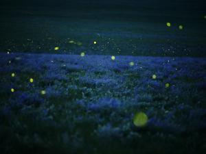 Lightning bugs and wild alfalfa blanket the prairie by Jim Richardson