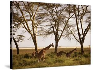 Masai Giraffes Graze in the Fields of Tanzania by Jim Richardson