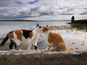 Two Cats Greet on a Wall Overlooking the Bay in Shapinsay by Jim Richardson