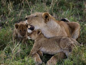 Two Cubs Rub Up Against a Lioness by Jim Richardson