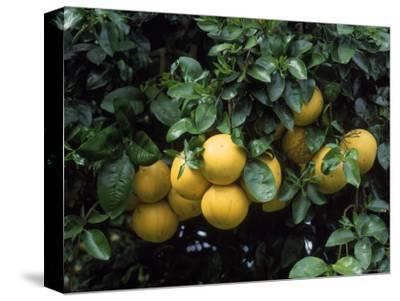 Grapefruit Trees, Brandenton