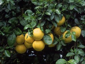 Grapefruit Trees, Brandenton by Jim Schwabel