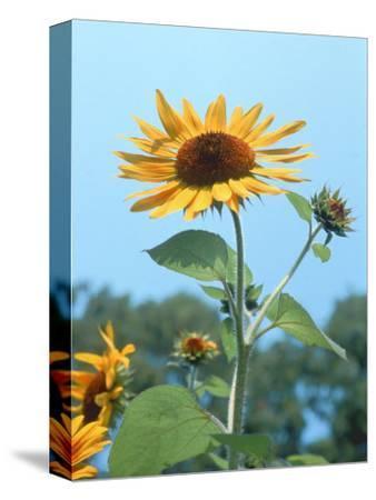 Large Sunflower, Wickford, RI