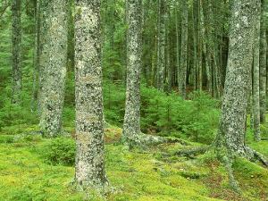 Moss Spruce Trees, Acadia National Park, Duck Brook, ME by Jim Schwabel