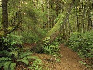 A Trail Cuts Through Ferns and Shrubs Covering the Rain Forest Floor by Jim Sugar