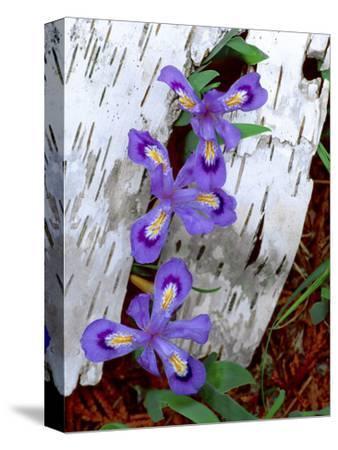 Dwarf Lake Iris Growing Through Birch Bark, Upper Peninsula, Michigan, USA