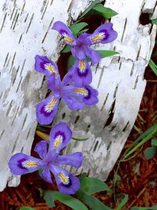 Dwarf Lake Iris Growing Through Birch Bark, Upper Peninsula, Michigan, USA by Jim Zuckerman