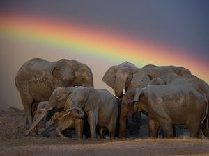 Elephants Taking Mud Bath by Jim Zuckerman