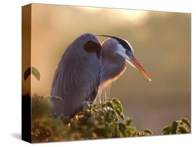 Great Blue Heron Perches on a Tree at Sunrise in the Wetlands, Wakodahatchee, Florida, USA