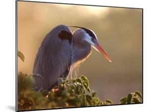 Great Blue Heron Perches on a Tree at Sunrise in the Wetlands, Wakodahatchee, Florida, USA by Jim Zuckerman