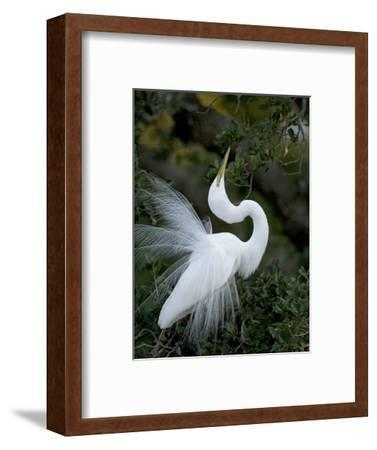 Great Egret Exhibiting Sky Pointing on Nest, St. Augustine, Florida, USA