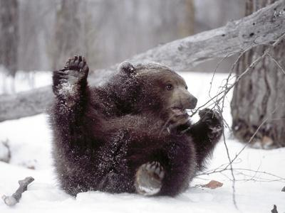 Juvenile Grizzly Plays with Tree Branch in Winter, Alaska, USA
