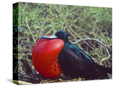 Male Frigatebird Showing Inflated Pouch During Breeding Season, Galapagos Islands, Ecuador