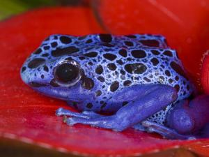 Poison Dart Frog on Red Leaf, Republic of Surinam by Jim Zuckerman