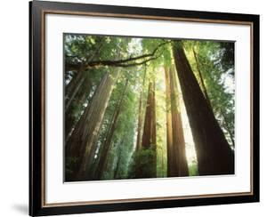 Redwood Forest by Jim Zuckerman