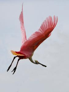 Roseate Spoonbill in Flight, Tampa Bay, Florida, USA by Jim Zuckerman