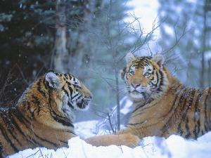 Siberian Tigers Resting in Snow by Jim Zuckerman