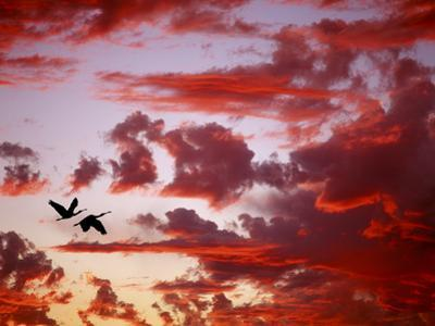 Silhouette of Roseate Spoonbills in Flight at Sunset, Tampa Bay, Florida, USA