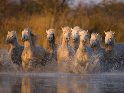 White Camargue Horse Running in Water, Provence, France by Jim Zuckerman