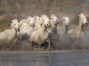 White Camargue Horses Running in Muddy Water, Provence, France by Jim Zuckerman
