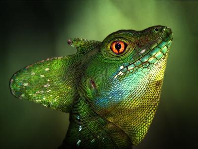 Basilisca Verde