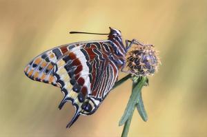 La Mariposa Del Madroa by Jimmy Hoffman
