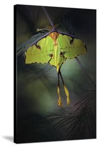 Moon Moth by Jimmy Hoffman