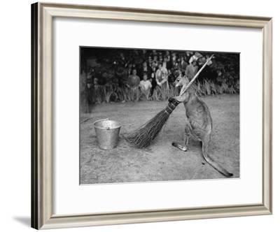 Jimmy Le Kangourou Du Zoo De Londres Faisant Le Menage--Framed Photo
