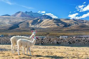 Pair of Llamas by jkraft5