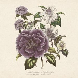 Camellia Reticulata by Jo Starkey