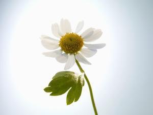 A Chamomile Flower by Jo Van Den Berg