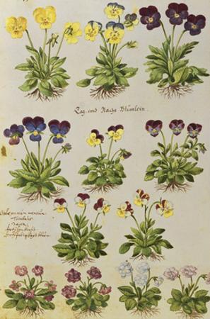 Pansies and Violas. from 'Camerarius Florilegium'
