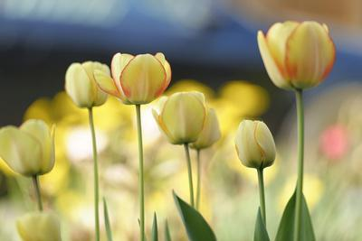 Yellow tulips, Tulipa hybrid,