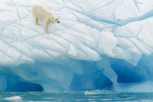 Polar Bear by Joan Gil Raga