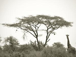 Standing Giraffe by Joani White