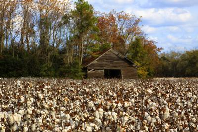 An Old Wooden Barn in a Cotton Field in South Georgia, USA