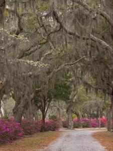 Bonaventure Cemetery with Moss Draped Oak, Dogwoods and Azaleas, Savannah, Georgia, USA by Joanne Wells