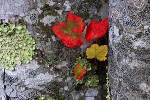 Fall Leaves at Acadia National Park, Maine, USA by Joanne Wells
